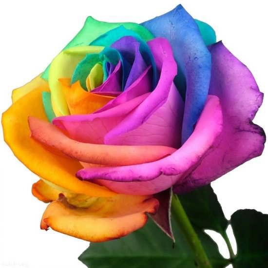 عکس گل رنگی جدید