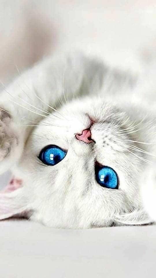والپیپر گربه سفید